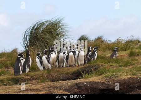 Magellanic penguin Spheniscus magellanicus adults near nesting burrows Sealion Island Falkland Islands British Overseas - Stock Photo