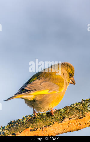 Vertical photo of nice single greenfinch songbird. Bird is perched on worn twig partially covered by bark, moss - Stock Photo