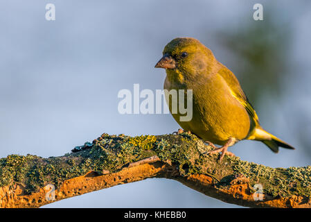 Horizontal photo of nice single greenfinch songbird. Bird is perched on worn twig partially covered by bark, moss - Stock Photo