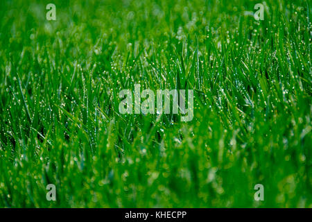 Grass with dew drops - Stock Photo