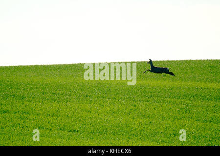 Deer jumps in a green field - Stock Photo