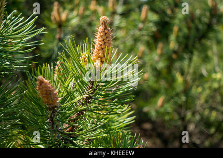 Small cones on young fir - Stock Photo