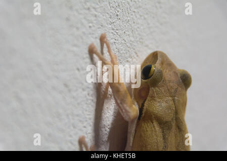 black eyed brown frog on the wall and looking for something. - Stock Photo