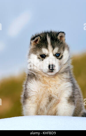Cute Siberian Husky puppy, two month old,  sitting on snow, portrait - Stock Photo
