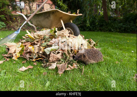 Hedgehog foraging around near a pile of autumn fall leaves in sunny garden seeking place for possible hibernation, - Stock Photo
