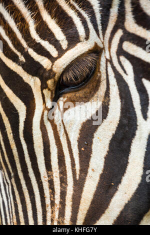 Grévy's zebra (Equus grevyi) - Stock Photo