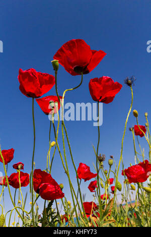 Turkey flower field grass poppy stock photo royalty free image red poppies in cappadocia turkey stock photo mightylinksfo