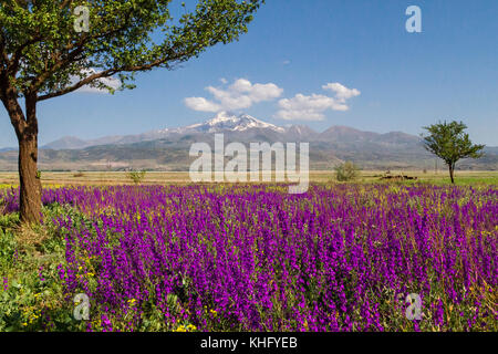 View over the Mount Erciyes in Kayseri, in the springtime through wild flowers. - Stock Photo