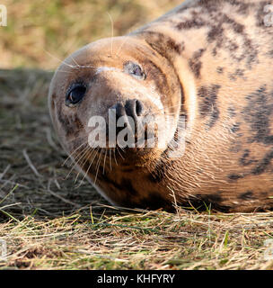 Grey seal (halichoerus grypus) - Stock Photo