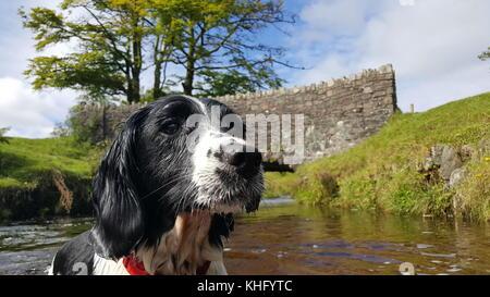 English Springer Spaniel Enjoying Exmoor - Stock Photo