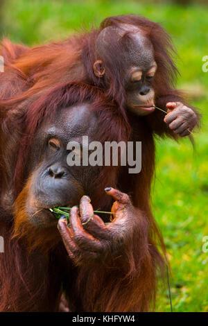 BORNEAN ORANGUTAN (Pongo pygmaeus) - Stock Photo
