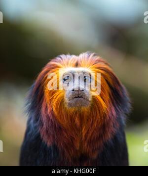 Golden-headed lion tamarin (Leontopithecus chrysomelas) - Stock Photo