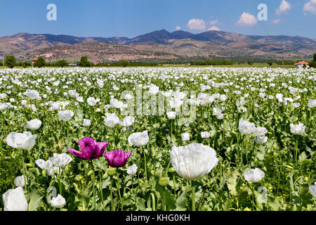 Opium poppy fields in Turkey. - Stock Photo
