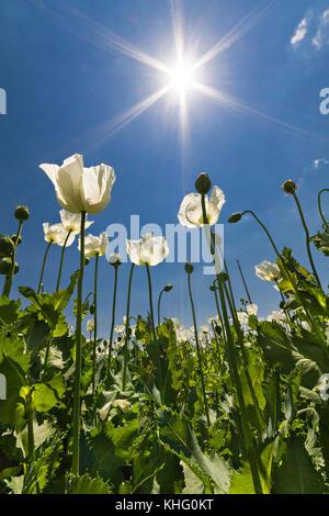 Opium Poppies known also as Papaver somniferum in latin, Turkey. - Stock Photo
