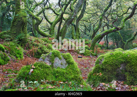 Moss covered trees in Dewerstone Wood, Devon - Stock Photo