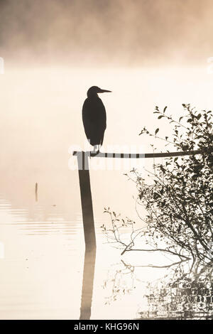 Silhouette of a grey heron, Ardea cinerea, perched on a post overlooking a misty lake at dawn - Stock Photo