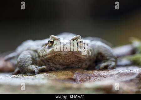 Common frog  Rana temporaria extreme close up face on - Stock Photo