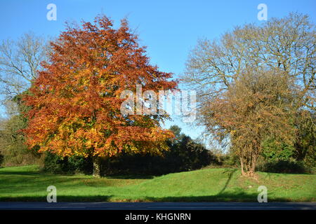 Bristol, UK. 17th Nov, 2017. UK Weather. On a mild day in Bristol a tree stands in a wonderful golden color of leaves. - Stock Photo