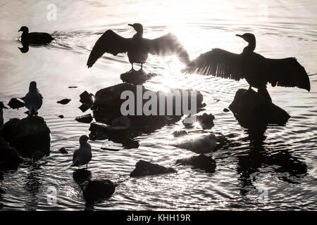 London, UK. 19th Nov, 2017. UK Weather: Two Cormorants dry their wings in the winter morning sun on Canada Water - Stock Photo