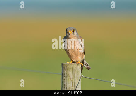 A male common  kestrel (Falco tinnunculus) with blood on his beak,  perched on a fence post, after hunting, Norfolk, - Stock Photo