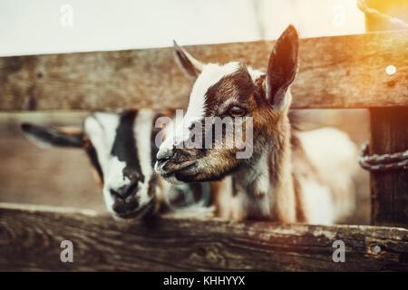 Cute Baby Goats - Stock Photo