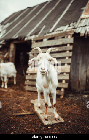 Goat standing in front of the barn - Stock Photo