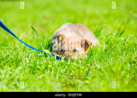 little brown playful puppy hiding in green grass on a meadow - Stock Photo