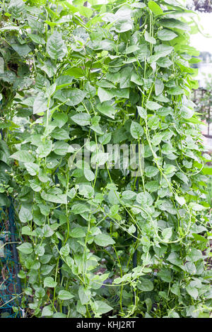 Growing Malabar spinach on farm in summer - Stock Photo