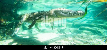 Submerged Saltwater Crocodile or Estuarine Crocodile is lying in ambush (Crocodylus porosus), Queensland, Australia - Stock Photo