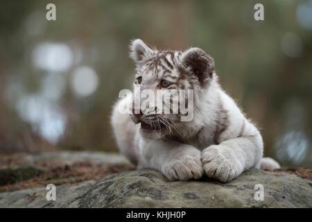 Royal Bengal Tiger ( Panthera tigris ), young cub, white leucistic morph, lying on rocks, resting, watching around, - Stock Photo