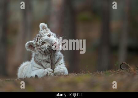 Royal Bengal Tiger ( Panthera tigris ), young cub, kitten, lying on the ground of a forest, playing with, biting - Stock Photo