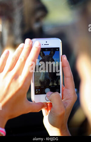 A girl taking a photo of a donkey with a cellphone mobile. - Stock Photo