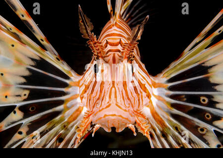 Israel, Eilat, Red Sea, – Underwater photograph of a radial Lionfish Pterois radiata close up of the head and face - Stock Photo