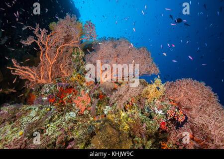 Coral Reef of Sea Fans, Gorgonaria, Christmas Island, Australia - Stock Photo