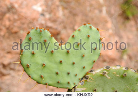 Prickly Pear Cactus at Enchanted Rock State Park west of Austin Texas in the Texas Hill Country - Enchanted Rock - Stock Photo