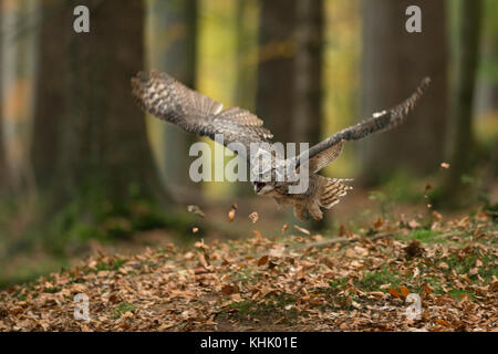 Great Horned Owl / Tiger Owl / Virginia-Uhu ( Bubo virginianus ) adult in flight, flying through autumnal coloured - Stock Photo