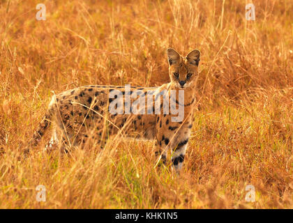 Serval Cat hunting in the Serengeti, Tanzania - Stock Photo