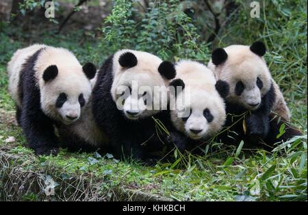Giant Panda (Ailuropoda melanoleuca) sub-adults, Chengdu, China