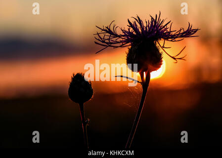 Colorful natural background with thistle flower and the sun at sunset in red and black colors - Stock Photo