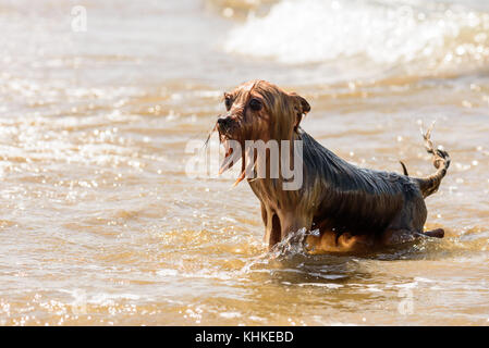 Funny wet and soppy dog playing in water at sea beach has ridicules look - Stock Photo