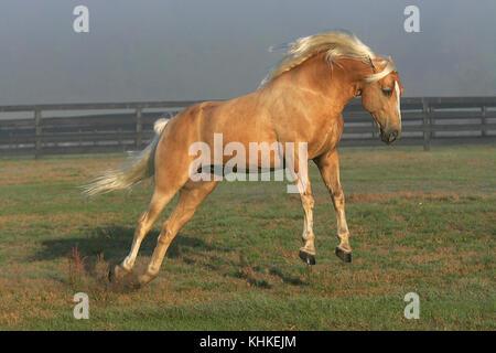 Tennessee Walker Stallion - Stock Photo