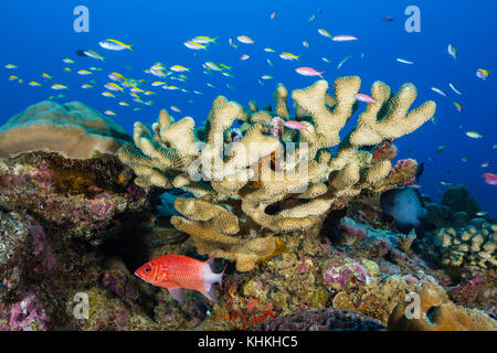 Shoal of Yellowback Anthias, Pseudanthias evansi, Christmas Island, Australia - Stock Photo