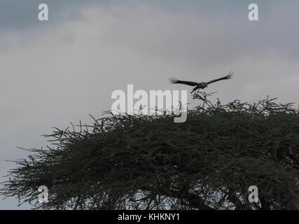 A Secretary Bird (Sagittarius serpentarius) landing on a nest - Stock Photo