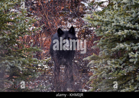 Gray wolf (Canis lupus), black, direct view, stands between trees in the forest, Denali National Park, Alaska, USA - Stock Photo