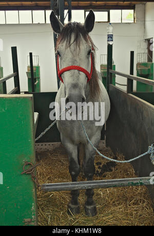 Grey horse in stable from front - Stock Photo
