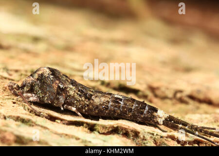 silverfish. Insect Lepisma saccharina, Thermobia domestica in normal habitat - Stock Photo