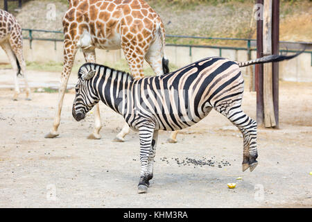 Zebra kicking both hind legs , photo taken in the zoo, giraffes at the background, daytime summer day - Stock Photo