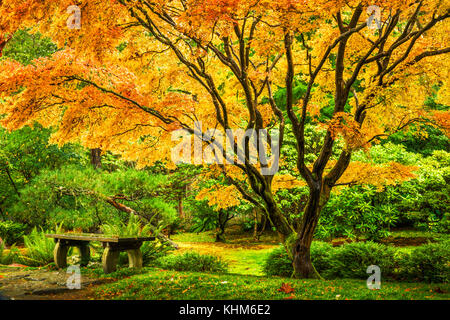 Japanese maple tree with golden fall foliage next to an empty bench in Seattle's Washington Park Arboretum Botanical - Stock Photo