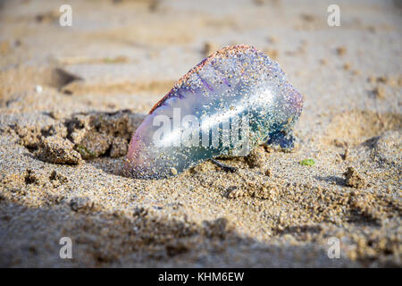 Portuguese man o' war washed up on a beach in Cornwall, England, UK. Autumn 2017 - Stock Photo