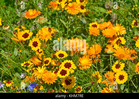 A golden naturaly planted flower meadow with Coreopsis and marigolds - Stock Photo